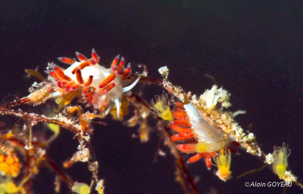 Flabellina dushia