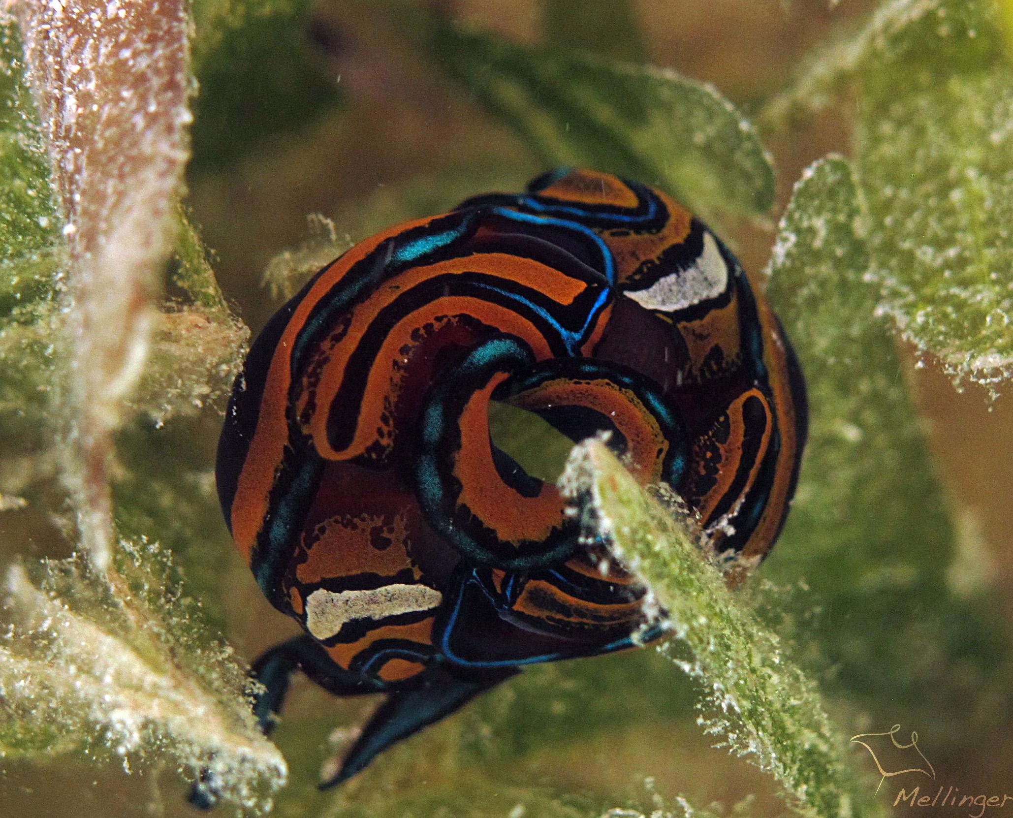 Chelidonura hirundinina