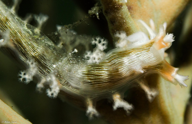 Tritonia hamnerorum et crevette