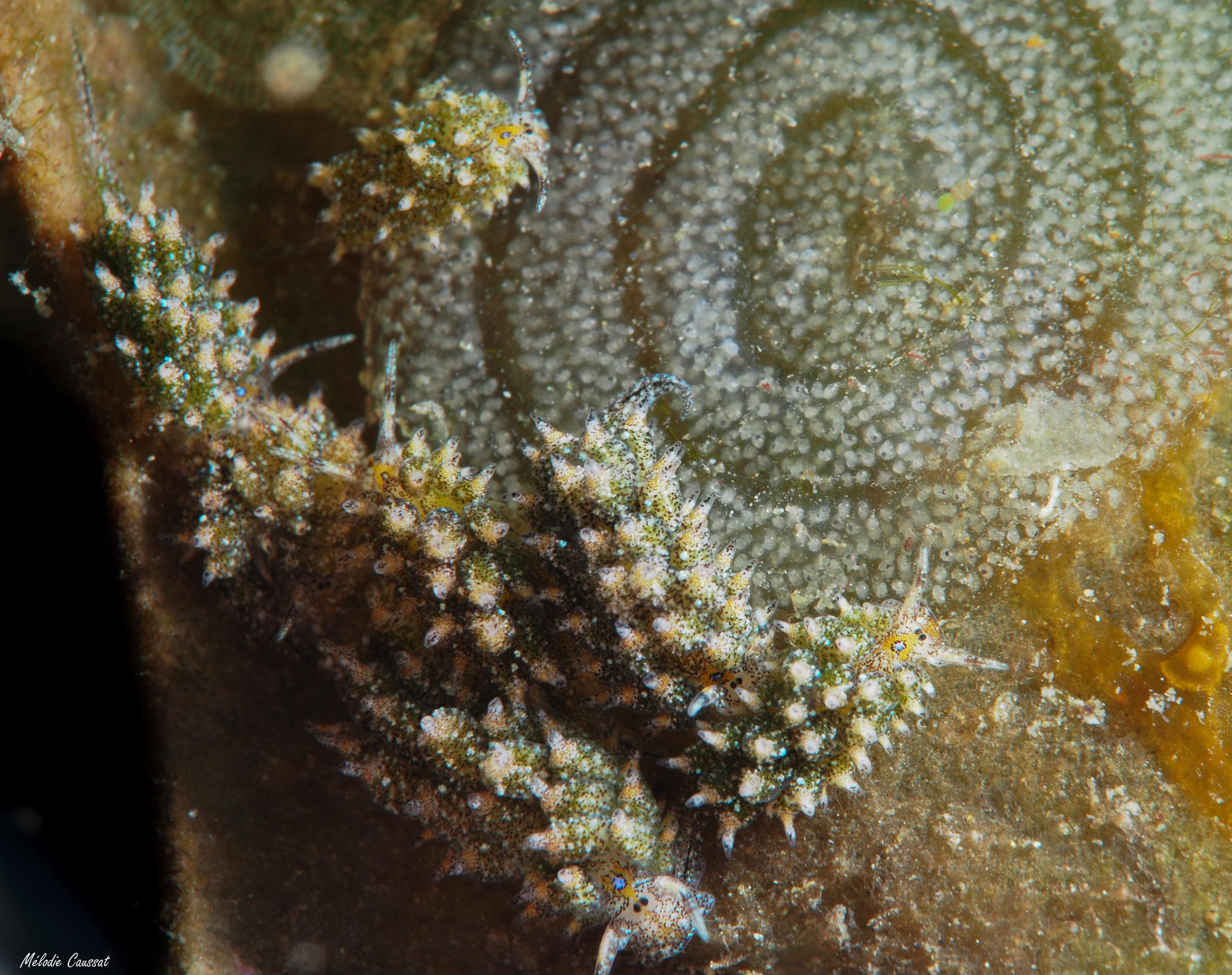 Costasiella ocellifera